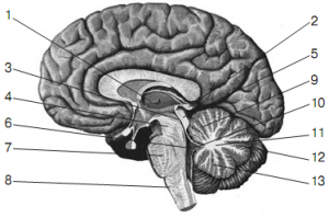 Pic. 1. Anatomical midsection of brain along in a saggital plane (by R.D. Sinelnikov).  1 – thalamus; 2 – conarium; 3– cerebral aqueduct; 4 – mesencephalon peduncle; 5– tectum of mesencephalon; 6 – IV ventricle; 7 – pons varolii; 8 – prolate pons; 9 – superior vermis; 10 – velum; 11 – medullary body of cerebellum; 12 – great horizontal fissure; 13 – inferior vermis.