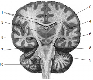 Pic. 2. Anatomical midsection of brain along in a frontal plane (by R.D. Sinelnikov).  1 – lateral ventricles; 2 – III ventricle; 3 – thalamus; 4 – cerebral aqueduct; 5 – red nucleus of mesencephalon; 6 – black substance of mesencephalon peduncle (a borderline between mesencephalic tegmentum and a base); 7 – mesencephalon peduncle; 8 – pons varolii; 9 – middle cerebellar peduncle; 10 – medulla oblongata.